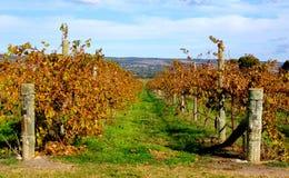 Vignes colorées, McLaren Vale Photos stock