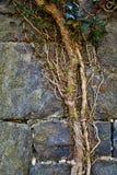 Vignes couvrant de vieilles ruines de pierre Image libre de droits