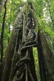 Vignes d'étrangleur sur l'arbre dans la réservation biologique de Monteverde, Costa Rica photos stock