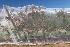 Vignes d'Apple avec les filets protecteurs sur eux photographie stock