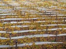 Vignes d'Apulian. Images stock