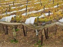 Vignes d'Apulian. Photo libre de droits