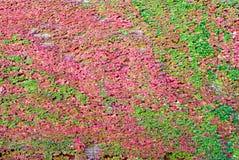 Vignes d'automne Images libres de droits