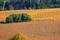 Vignes d'automne Photographie stock