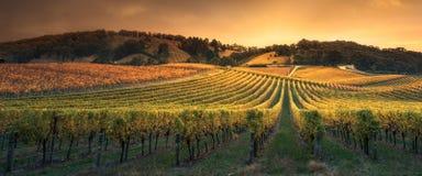 Vignes d'or de coucher du soleil Images stock