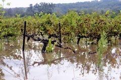 Vignes d'inondation Photo stock
