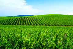Vignes dans Chianti Image libre de droits
