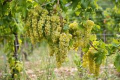 Vignes dans la région de vin de Balaton, Hongrie photos libres de droits