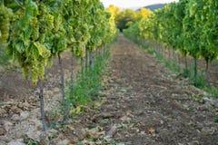 Vignes dans la région de vin de Balaton, Hongrie photos stock