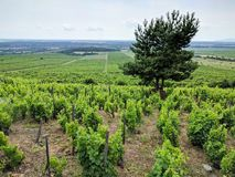 Vignes dans la région de vin de Tokaj près de Sarospatak, Hongrie Photos stock