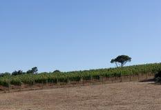 Vignes dans les sud des Frances Image libre de droits