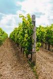 Vignes dans un vignoble en automne Raisins de cuve avant des vins d'Italien de récolte Photo libre de droits