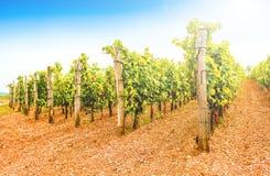 Vignes dans un vignoble en automne Raisins de cuve avant des vins d'Italien de récolte Images libres de droits