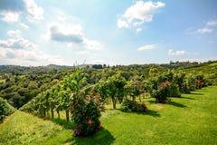 Vignes dans un vignoble en automne - raisins de cuve blanc avant récolte Photo libre de droits