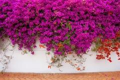 Vignes de Bugambilia couvrant un mur Photographie stock libre de droits