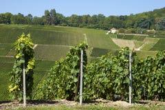Vignes de champagne Image stock