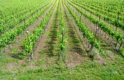 Vignes de chardonnay Photos stock