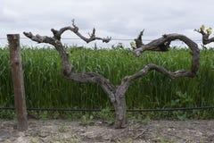Vignes de coeur d'amour avec de nouvelles pousses, la vallée Barossa, SA Photographie stock