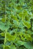 Vignes de concombre sur le treillis Photographie stock