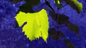 Vignes de feuillage de feuille Photographie stock