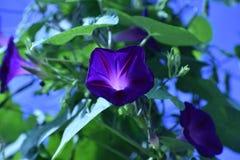 Vignes de gloire de matin grandissant un treillis dans le jardin photographie stock