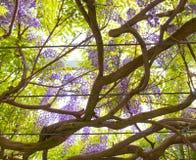 Vignes de glycine accrochant outre des branches. image stock