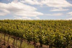 Vignes de Hillside Photographie stock libre de droits