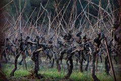Vignes de l'hiver photo stock