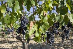 Vignes de la Toscane Images stock