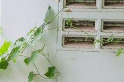 Vignes de mauvaise herbe Image stock