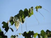 Vignes de muscat contre un ciel bleu photos stock