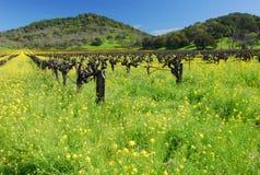 Vignes de Napa en fleur Images libres de droits