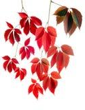 vignes de rouge d'automne Photo libre de droits