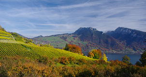 Vignes de Spiez, Suisse Photos stock