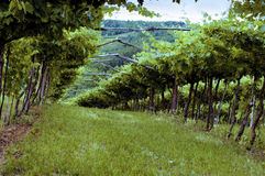 Vignes de Valpolicella en Vénétie, Italie au coucher du soleil Images stock
