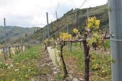 Vignes de vignoble Photo libre de droits