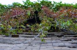 Vignes des raisins sauvages accrochant en bas du mur photos stock