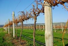 Vignes en automne Image stock