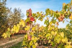 Vignes en automne dans la campagne Image libre de droits