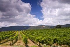 Vignes en Galilée photos libres de droits