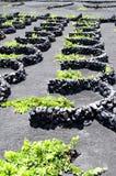 Vignes en La Geria, Lanzarote Images libres de droits
