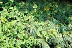 Vignes envahissantes en été images stock