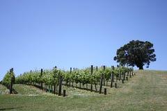 Vignes et arbre de Pohutukawa Photographie stock