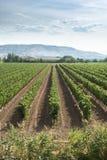 Vignes et établissement vinicole photographie stock libre de droits