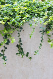 Vignes feuillues au-dessus de mur Photo stock