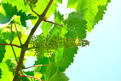 Vignes fleurissantes Photographie stock libre de droits