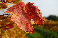 Vignes I Photo stock