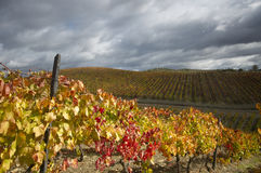 Vignes jaunes Photographie stock