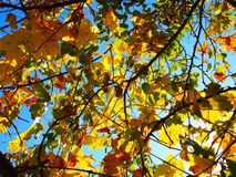 Vignes jaunes avec le ciel bleu photos stock