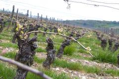 Vignes jaunes Napa d'automne de lignes de vigne Photographie stock libre de droits